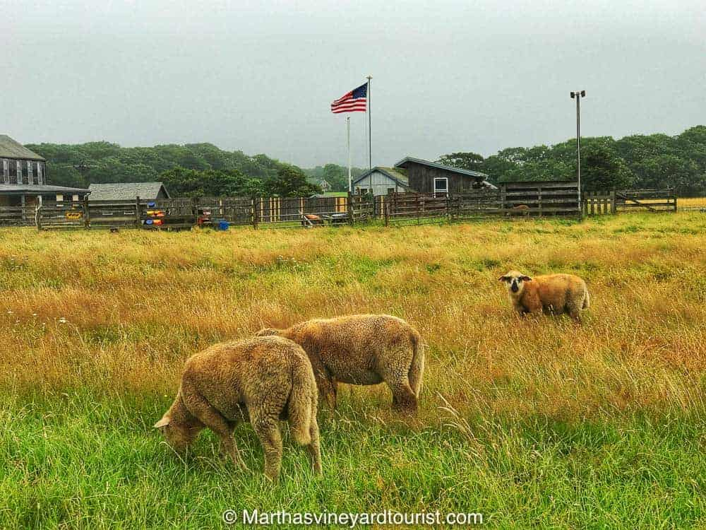 One of the many farms remaining on Martha's Vineyard.