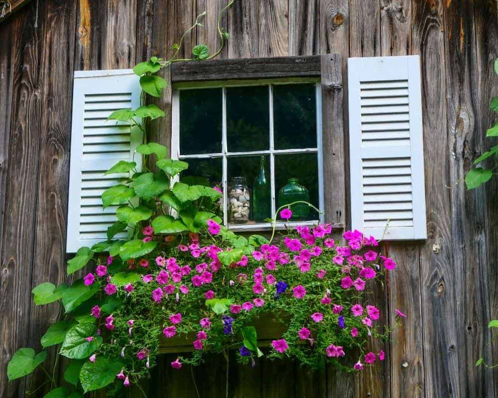 purples flowers in a window box, white shutters, brown wooden exterior in Litchfield county USA