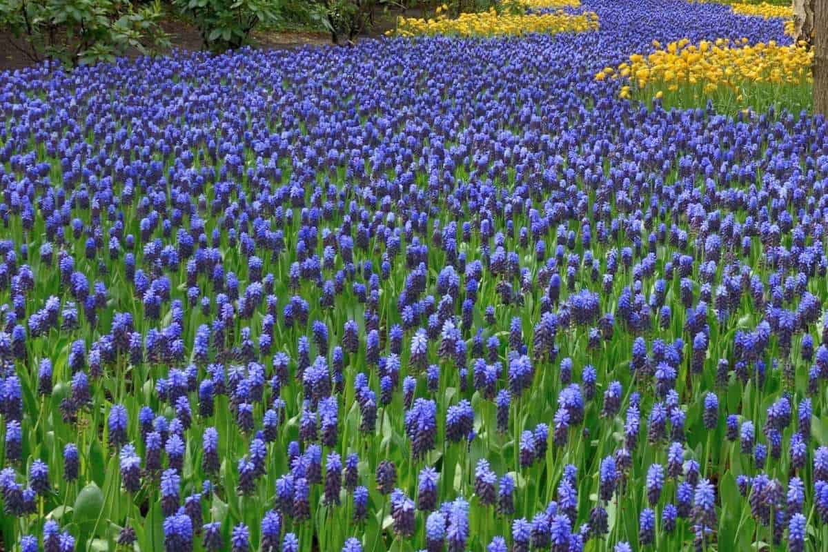 a river of hyacinths in Cape Cod