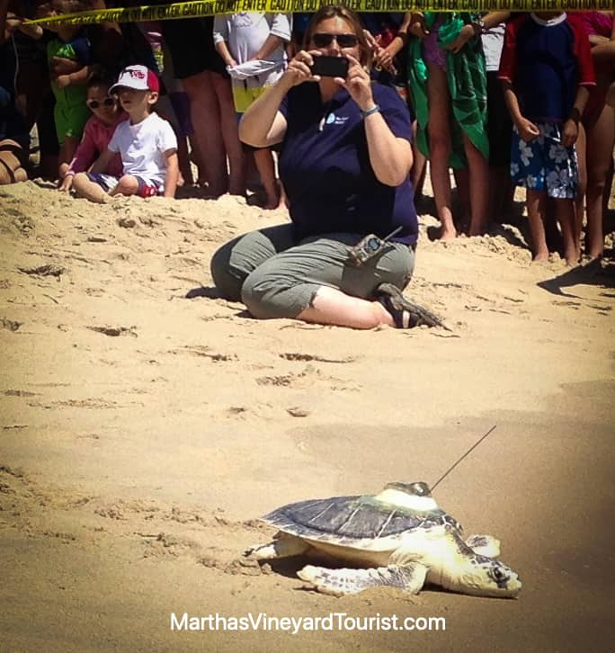 rescued sea turtle returning to the Atlantic Ocean at Long Point Martha's Vineyard
