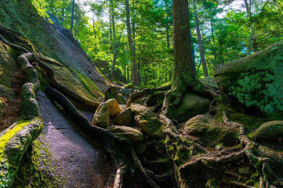 roots of a tree at Purgatory Chasm State Park